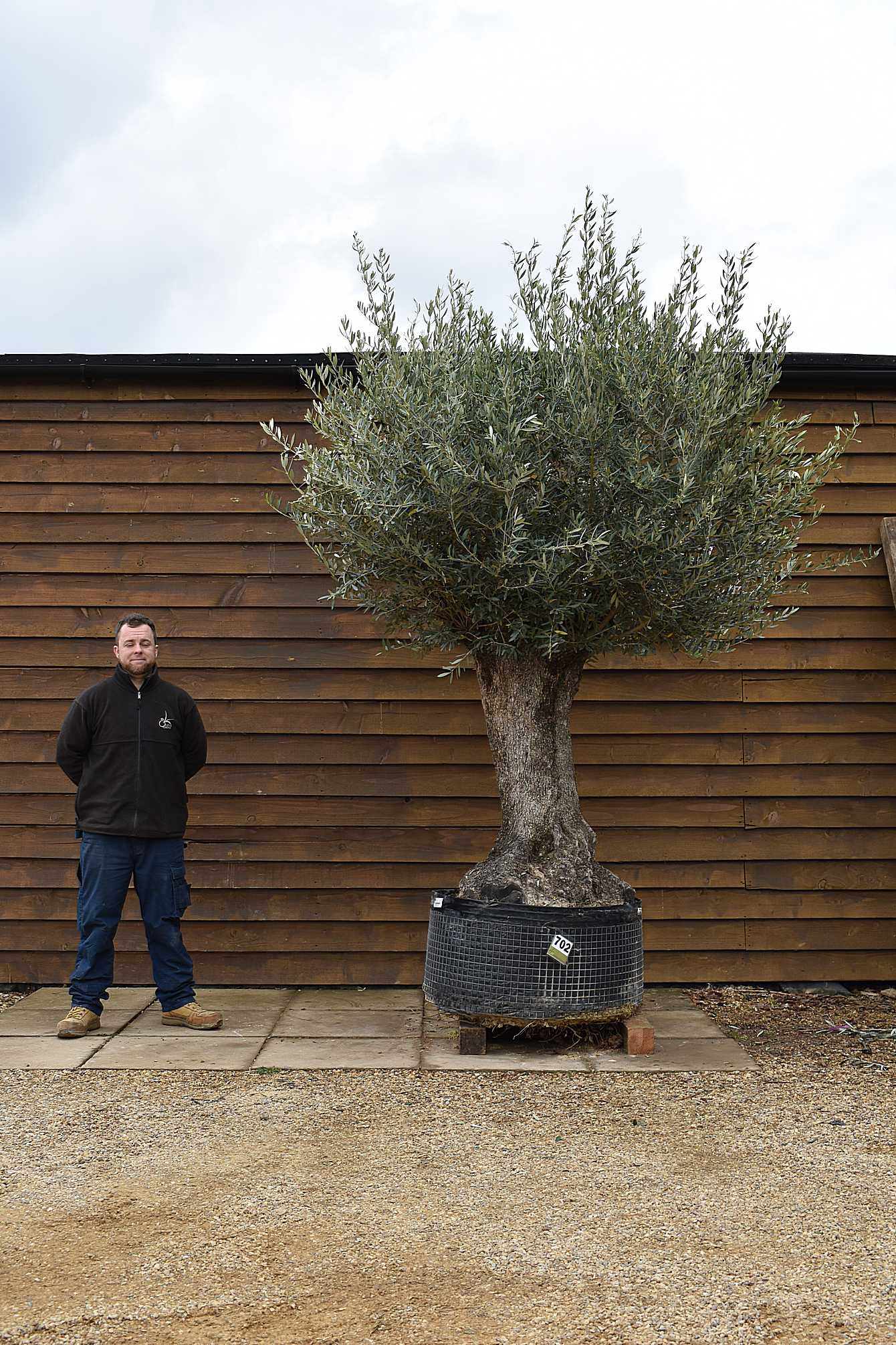 Ancient Olive Tree No. 702