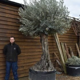 Ancient Olive Tree No. 704 Seen From The Left