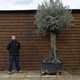 Ancient Olive Tree No. 704