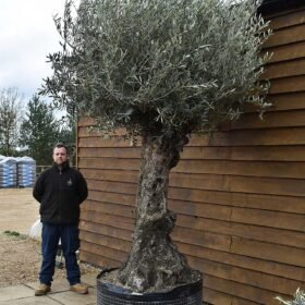 Ancient Olive Tree No. 704 Seen From The Right