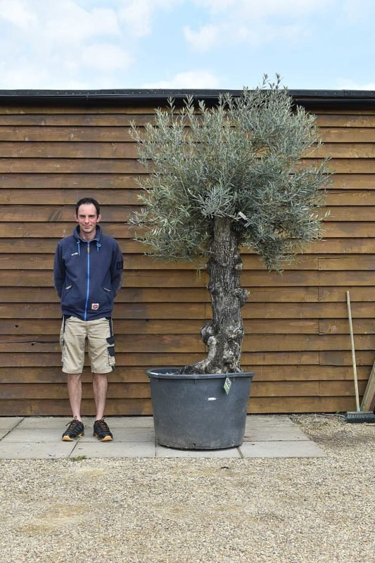 230lt bonsai 621