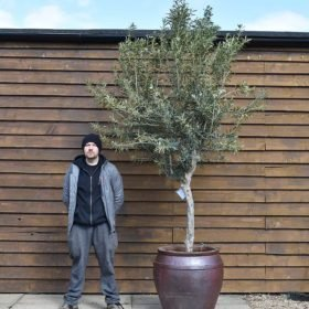 potted chelsea olive tree 507