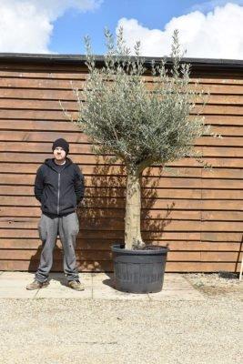 Medium Gnarled Olive Trees