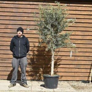 Chelsea olive tree 543