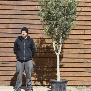chelsea olive tree 545