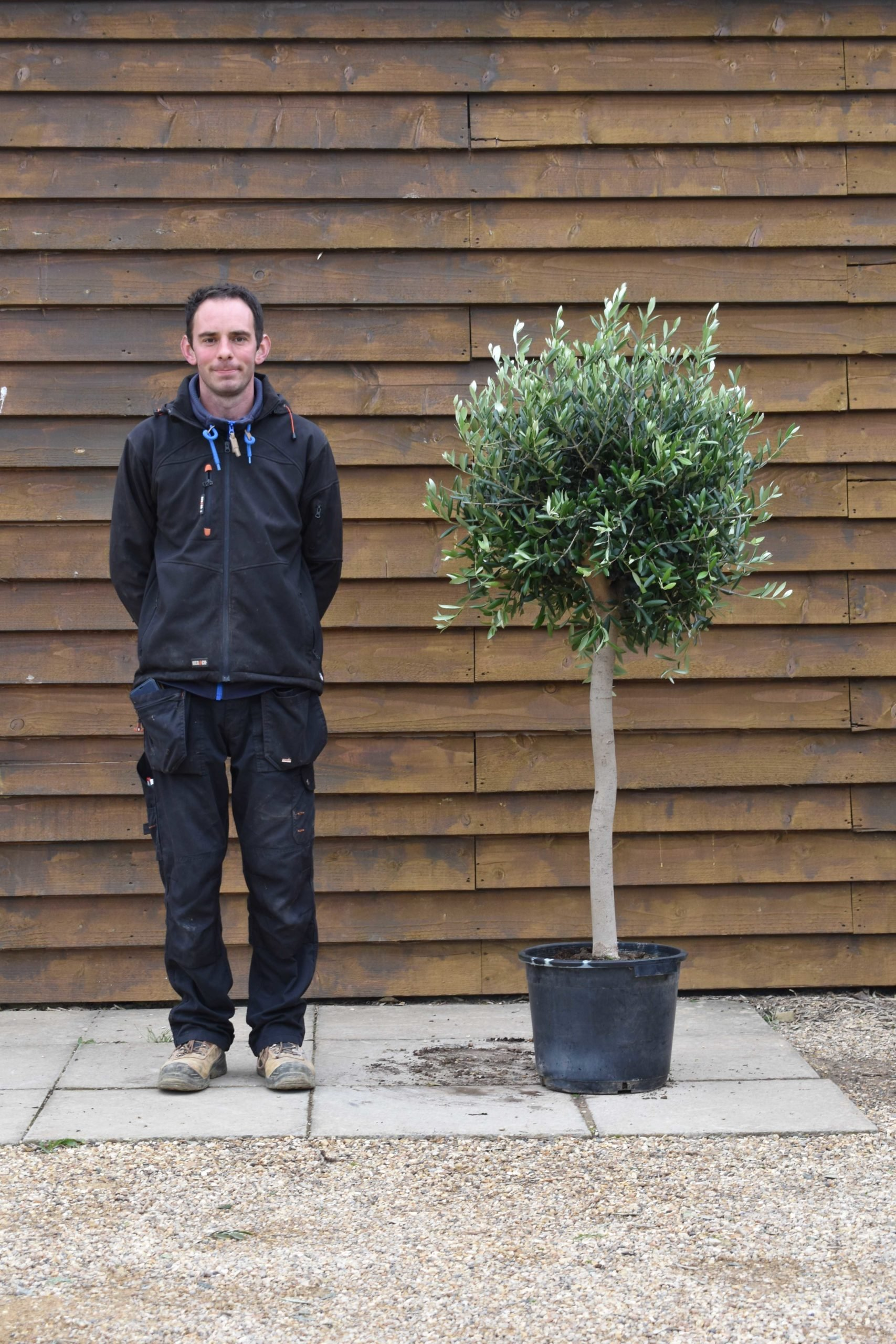 clipped standard olive tree