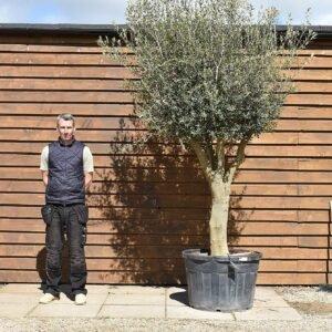 Tall multi stem olive tree 153