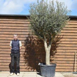 Tall multi stem olive tree 155