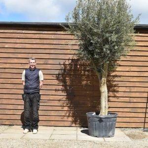Tall multi stem olive tree 198