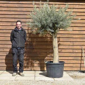 Top worked olive tree no. 128