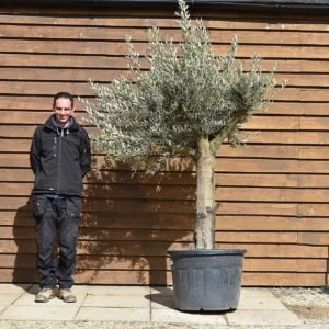 Top worked olive tree no. 131