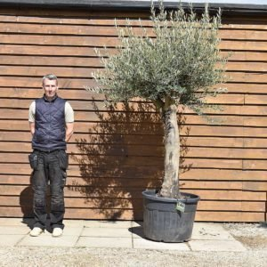 Top worked olive tree 145