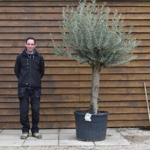Top worked Olive Tree 157