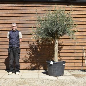 Top worked olive tree 183