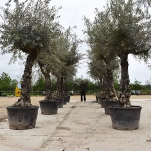 avenue of olives (1)