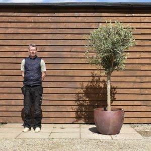 potted chelsea olive tree 110