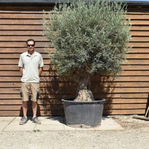 290lt bonsai olive 410 (2)