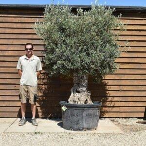 290lt bonsai olive 411 (2)