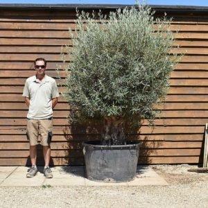 290lt bonsai olive 421 (2)