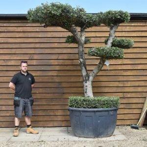 500lt cloud olive tree 159 (2)