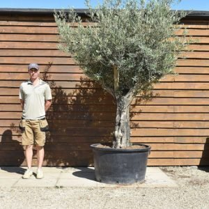 60/80 multi stem olive 312