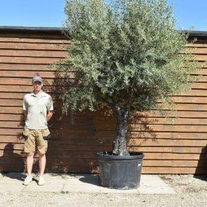60/80 multi stem olive 353