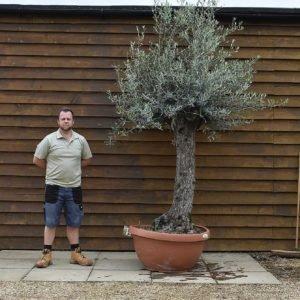 90cm bowl olive tree 574 (2)