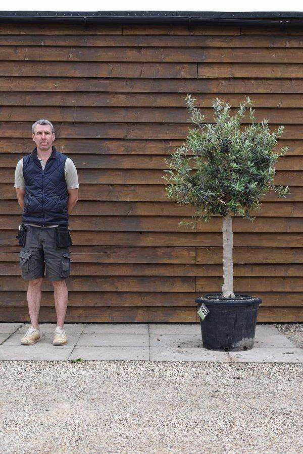 chelsea olive tree 525 (2)