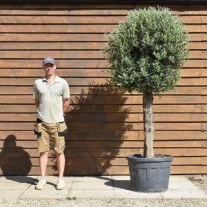 clipped olive tree 377