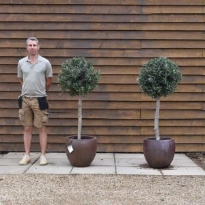 pair potted clipped standards (2)