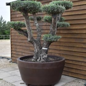 potted cloud olive tree 544 (2)