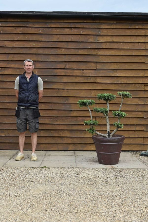 potted cloud olive tree 556 (2)