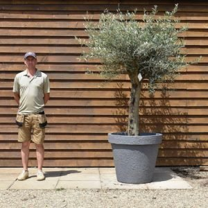 potted top worked olive 386