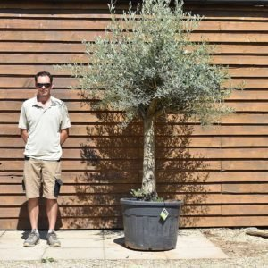 top worked olive tree 407 (2)