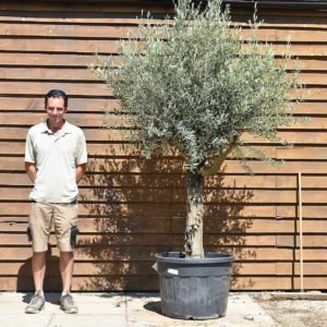 top worked olive tree 414 (2)