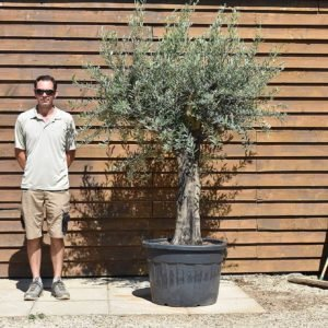 top worked olive tree 445 (2)