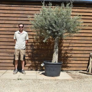 top worked olive tree 499 (2)