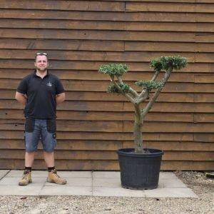 90lt Cloud Olive Tree 608 (2)