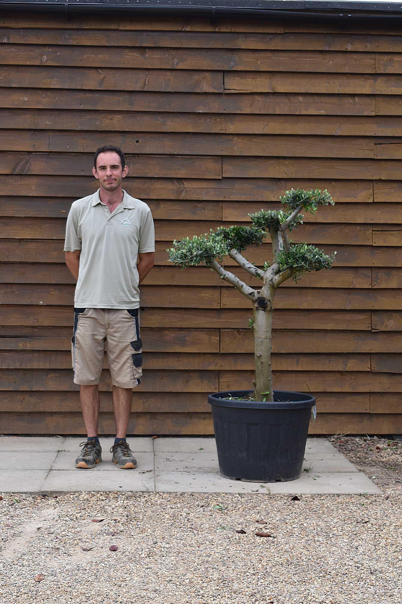 90lt Cloud Olive Tree 617 (2)