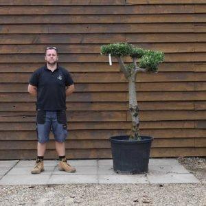 90lt Cloud Olive Tree 636 (2)