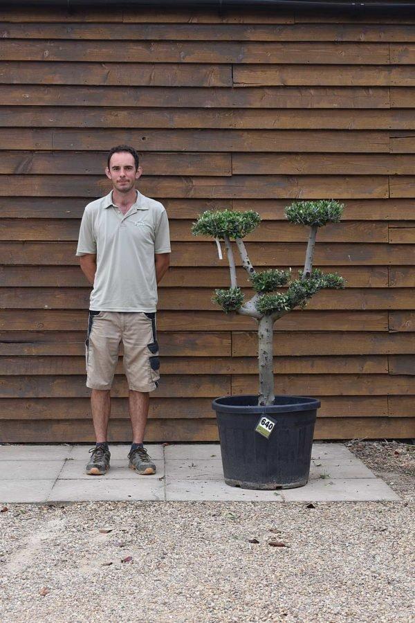 90lt Cloud Olive Tree 640 (2)
