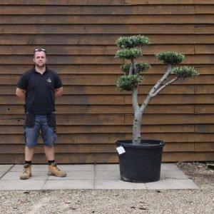 90lt Cloud Olive Tree 643 (2)
