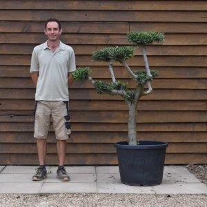 90lt Cloud Olive Tree 663 (2)