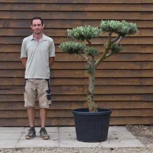 90lt Cloud Olive Tree 667 (2)