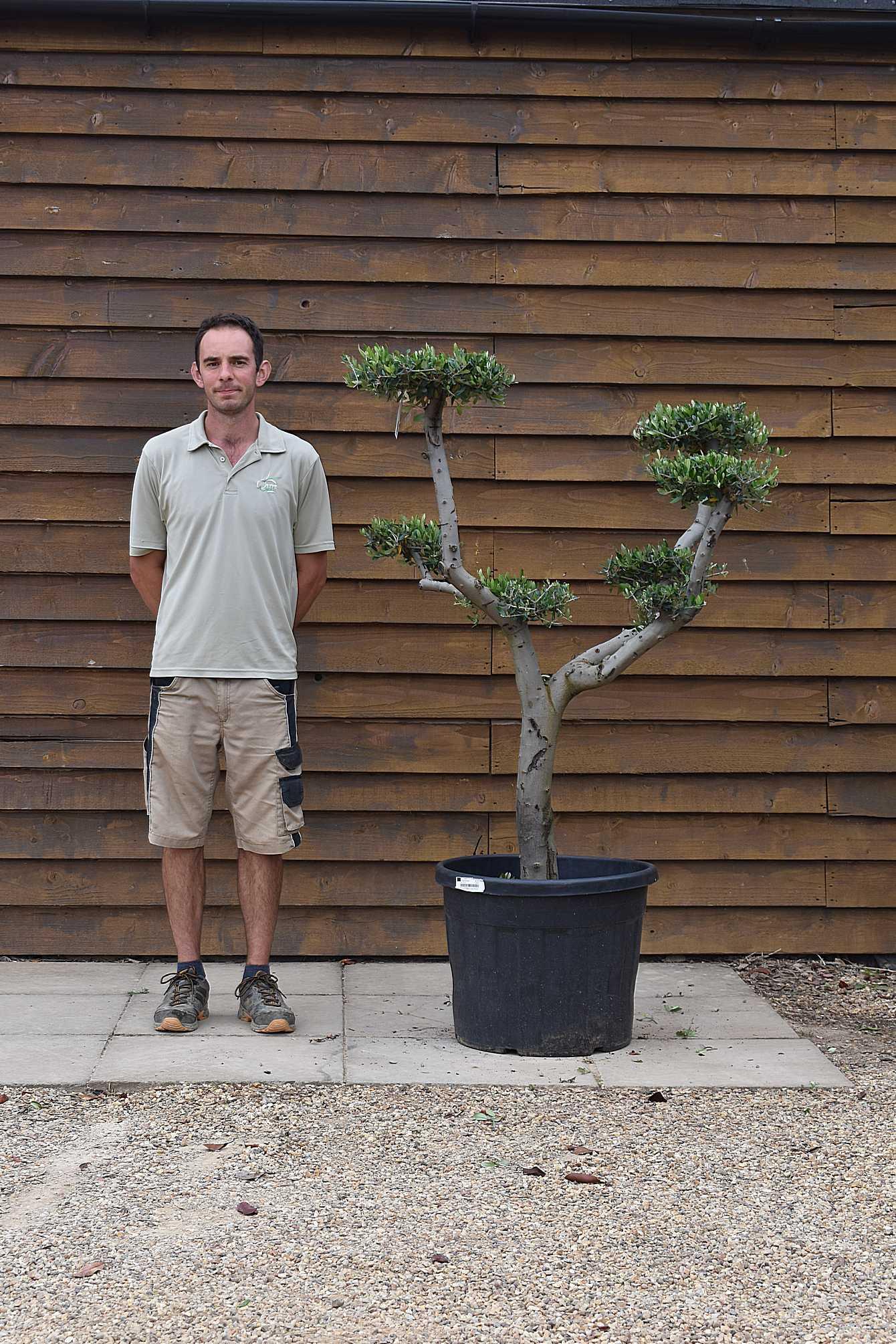90lt Cloud Olive Tree 681 (2)