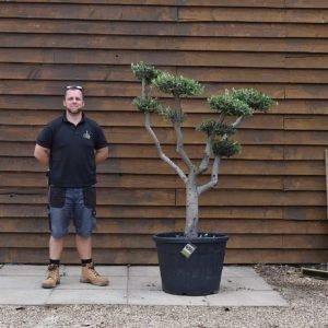 90lt Cloud Olive Tree 696 (2)