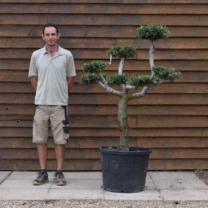 90lt Cloud Olive Tree 703 (2)