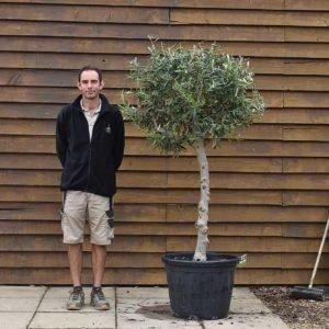 chelsea olive tree 433 (2)