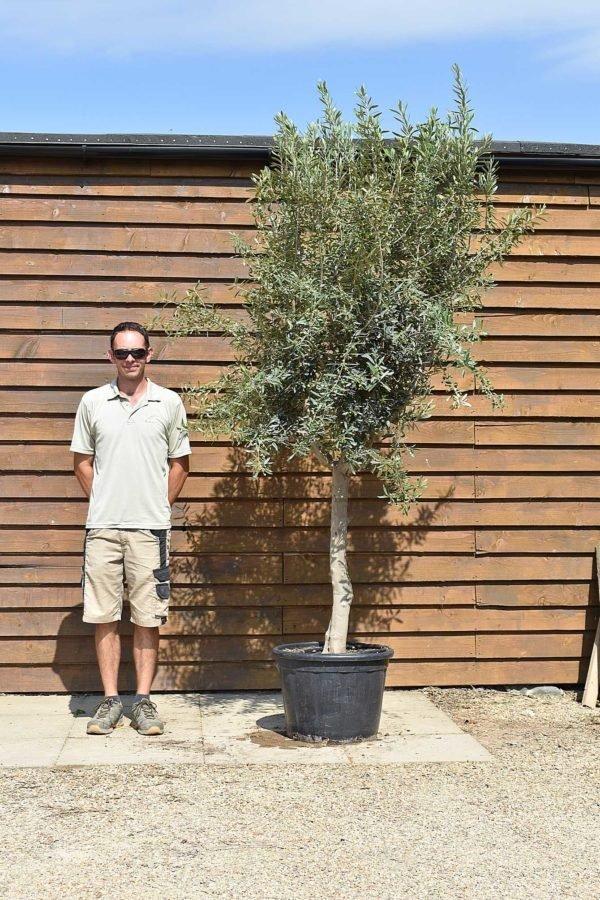 chelsea olive tree 583 (1)
