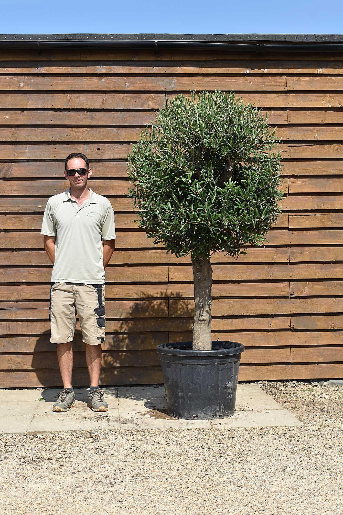 lollipop olive tree 509 (2)